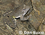 Foothill yellow-legged frog, Rana boylii