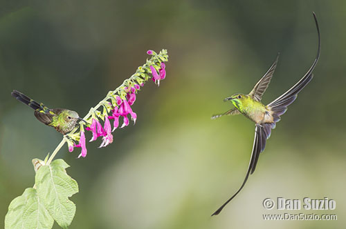 Black-tailed Trainbearer hummingbirds