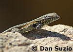 Side-blotched lizard, Uta stansburiana