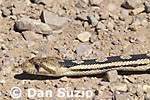 Great Basin gopher snake, Pituophis catenifer deserticola