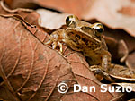 Polypedates, Striped treefrog