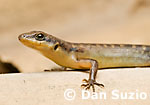Sphenomorphus, Wedge skink