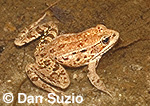 California red-legged frog, Rana aurora draytonii